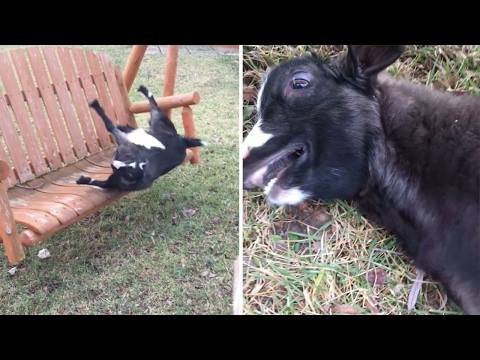 Silly Goat does a comedic fall off swing: